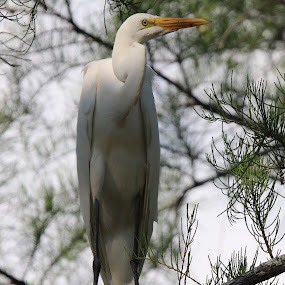 Hanging out by Lyn Simuns - Animals Birds ( egret, white, bird, tree, solo,  )
