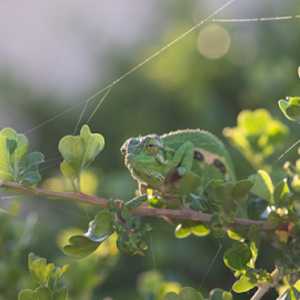 Camo on branch by Jacquiline Van Ghent - Animals Reptiles ( afternoon, chameleon, green, leaves, spiderweb, bokeh, looking, camouflage, reptile, sun,  )
