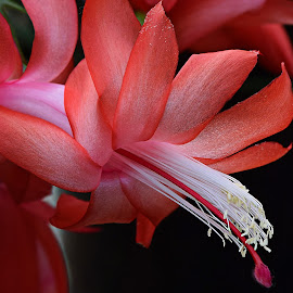 Christmas Cactus by Millieanne T - Flowers Flower Gardens