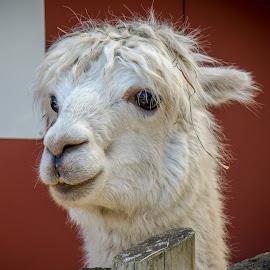 My friend Al by Ruth Sano - Animals Other ( llama, portrait, closeup, animal )