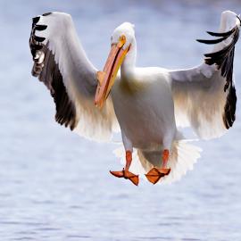 American White Pelican by Robert George - Animals Birds