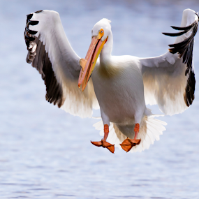 American White Pelican by Robert George - Animals Birds
