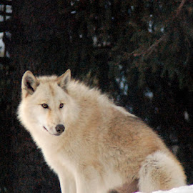 White Timber Wolf by Skye Stevens - Animals Other Mammals