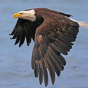 Eagle Flight! by Anthony Goldman - Animals Birds ( bird, wild, flight, predator, eagle, nature, ninilchik, wings, wildlife, bald,  )