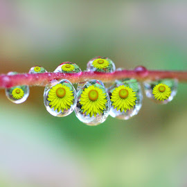 Reflections in Raindrops..... by Jacqueline Lancelotte - Nature Up Close Natural Waterdrops ( yellow flowers, reflections in raindrops, raindrops )