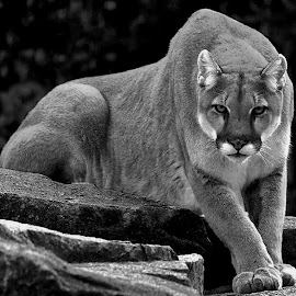 The hunter  by Bruce Newman - Animals Lions, Tigers & Big Cats ( animals, cougar, black and white, dramatic, wildlife )