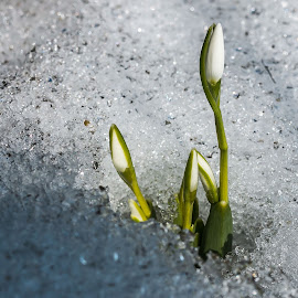 Snowdrops by DC Photos - Novices Only Flowers & Plants ( melting, winter, nature, ice, snow, snowdrops )