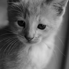 Ears by Juli Paul - Animals - Cats Kittens ( kitten, cat, whiskers, cute, nose, eyes )