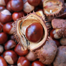 Conker in focus by Peter Salmon - Nature Up Close Other Natural Objects