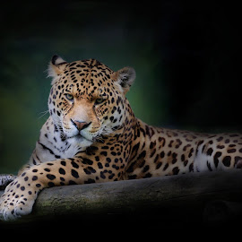 Watching by Paul Fine - Animals Lions, Tigers & Big Cats ( jaguar, hunter, predator, spotted, big cats, endangered species, rare, stare, eyes )