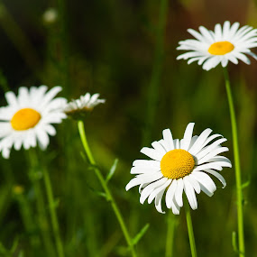 Trio of Blooms by Kevin Beasley - Flowers Flowers in the Wild ( daisies, flowers, wildflowers, nature, daisy, wild,  )