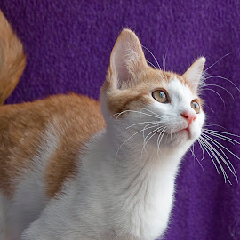 Ginger portrait by Jess van Putten - Animals - Cats Portraits ( cat, ginger, wiskers, kitty, animal )
