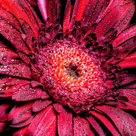 Burgundy Daisy by Heather Campbell - Flowers Single Flower ( water drops, macro, red, nature, single flower, gerbera daisy, daisy, red daisy, close up, flower )
