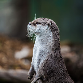 I See No Ships  by Len  Janes - Animals Other Mammals ( water, colour, wild, otter, wildlife, close up, mammal, animal )