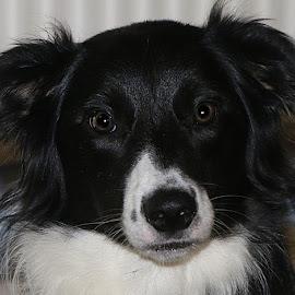 Freyja by Chrissie Barrow - Animals - Dogs Portraits ( border collie, female, pet, white, ears, fur, dog, nose, black, portrait, eyes )