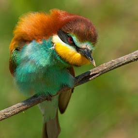 Mr. Flakes by Doina Russu - Animals Birds ( bird, merops apiaster, bee eater )