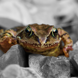 Frog on the Rocks by Dave Smith - Animals Amphibians ( animals, macro, nature, frog, amphibian, gravel, close up, portrait )