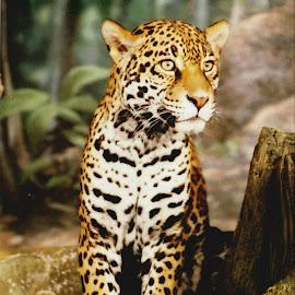 Cheetah by Nancy Tonkin - Animals Lions, Tigers & Big Cats