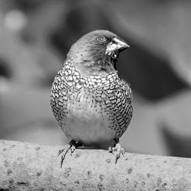 Munia by Asif Bora - Black & White Animals