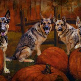 The Great Pumpkin Patch by Dawn Vance - Digital Art Animals ( animals, pumpkin patch, autumn, pets, digital art, digital photography, german shepherd )