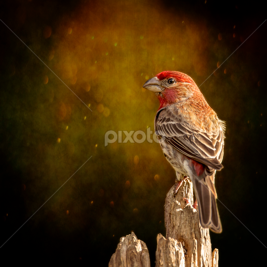 Finch From The Back by Bill Tiepelman - Animals Birds ( bird, red, nature, animal.wildlife, male, finch )