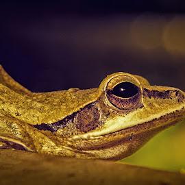 little frog by Jayanta Basu - Animals Amphibians ( nature, frog, amphibian, garden, eye )