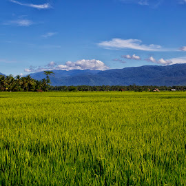 panorama paddy field in kalaena village by Hartono Wijaya  - Landscapes Prairies, Meadows & Fields ( paddy field, nature, indonesia, luwu timur, kalaena, travel, panorama )