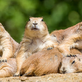 Tight Quarters by Ed & Cindy Esposito - Animals Other Mammals ( prairie dogs, animals, zoo, pig pile, tight quarters, six )