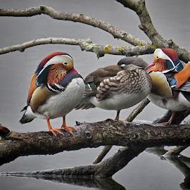mandarinke by Dunja Kolar - Animals Birds ( maksimir, croatia, zagreb )
