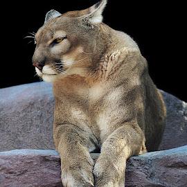 Grumpy by Shawn Thomas - Animals Lions, Tigers & Big Cats