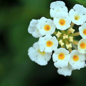 little flowers by Yoeyoed . - Nature Up Close Flowers - 2011-2013 ( bunga kecil, de laris, antasari,  )