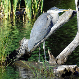 PRETTY HERON by Cynthia Dodd - Novices Only Wildlife ( water, nature, outdoors, pond, birds, heron, animal )