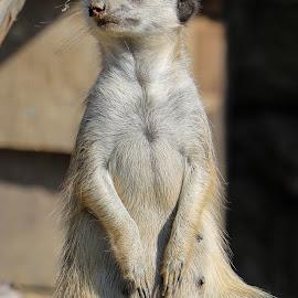 Cute by Robert Seme - Animals Other ( photooftheday, animal, photo, animals, meerkat, photography,  )
