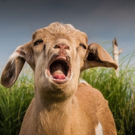 Ouch! by Ynon Francisco - Animals Other Mammals ( farm, goat, cry, rural, country, kid )