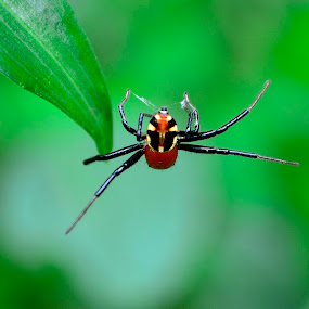 Amazing spider man... by Prasant Kumar - Animals Insects & Spiders ( nature, wildlife, spider, insects )