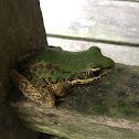 Swinhoe's frog