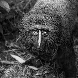 Owl Monkey by Jack Lewis McClure - Animals Other Mammals ( black and white, dramatic, primate, owl monkey, monkey )