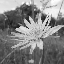 Цвете by Georgi Kolev - Black & White Flowers & Plants ( небе., треви., цветя., дървета., поляна. )
