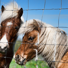 Hello, do you have a treat for us? by Judy Rosanno - Animals Horses ( fence, headshot, horses, horse )