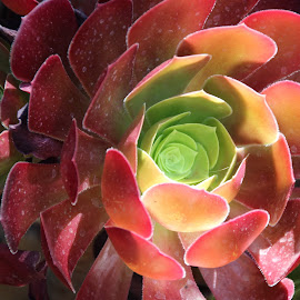 Red on Green by Randi Hodson - Nature Up Close Other Natural Objects ( red, green, succulents, gardens,  )
