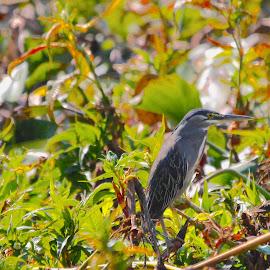 Greenback Heron by Christo W. Meyer - Novices Only Wildlife ( greenback heron, heron, birding )