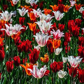 Tulips by Zoran Mrđanov - Flowers Flower Gardens (  )