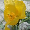 Yellow hornpoppy