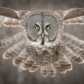 Great Gray Owl by Rolland Gelly - Animals Birds ( rolland quebec canada )
