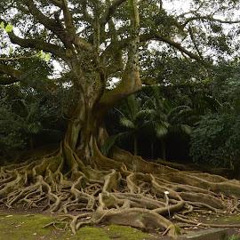 Razvejane korenine by Bojan Kolman - Nature Up Close Trees & Bushes (  )