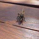 Hornet robberfly