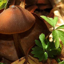 Singularity by Claudiu Petrisor - Nature Up Close Mushrooms & Fungi ( mushroom, leafs, green, sun light, brown )