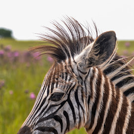 perfect hairdo by Rachele Fourie - Animals Other ( black and white, baby, zebra, cute, color pop )