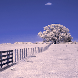 oak tree by David Ubach - Landscapes Prairies, Meadows & Fields ( field, fence, pasture, infrared, 590nm, oak tree )