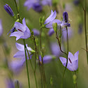 Harebell (Bluebell; Witchs Bells)